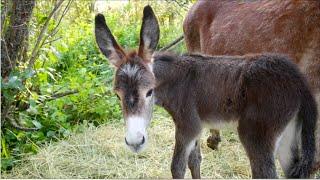 Birthing, Imprinting \u0026 Early Training of a Donkey Foal