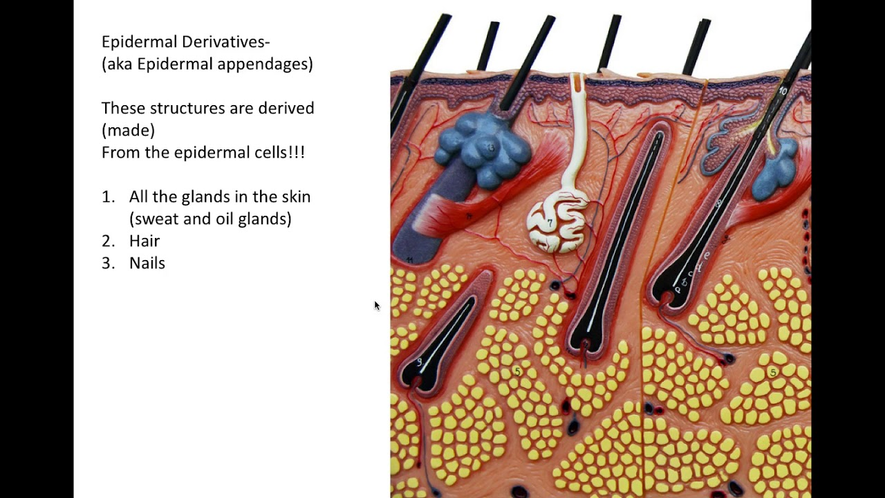 Integumentary System Part 2 Youtube