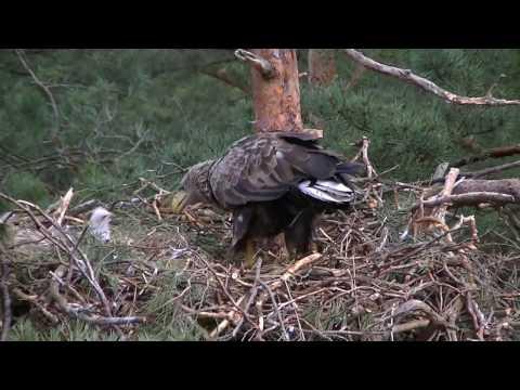 BIELIK 2016   White tailed eagle