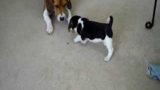 6 Week Beagles going wild
