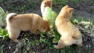山陰柴犬の子犬3兄妹が白菜を食べるたべる・・・