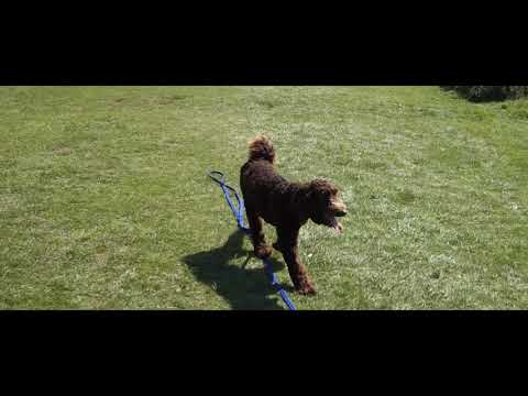 Australian Labradoodle - 2 Weeks Residential Dog Training
