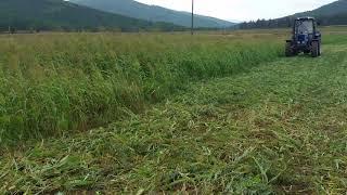 видео Выращивание суданской травы