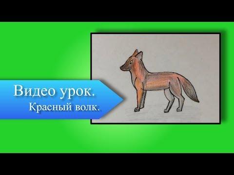 Как нарисовать красного волка из красной книги