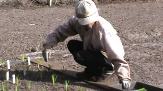 Ladybug Daylilies: Fall Planting 2009 Part 2/2