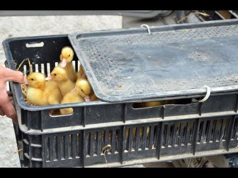 Полимерные ящики для перевозки молодняка птицы. ФХ Воложанина А.Е.