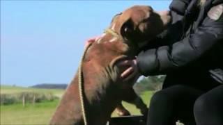 Amstaff - France 2 Reportage à L'élevage De L'exil Des Titans