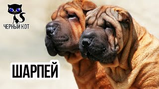 Шарпей / Интересные факты о собаках