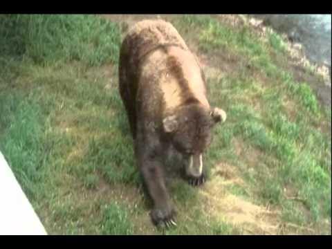 Must see!!! Giant Brown Bear 5 feet away from us.