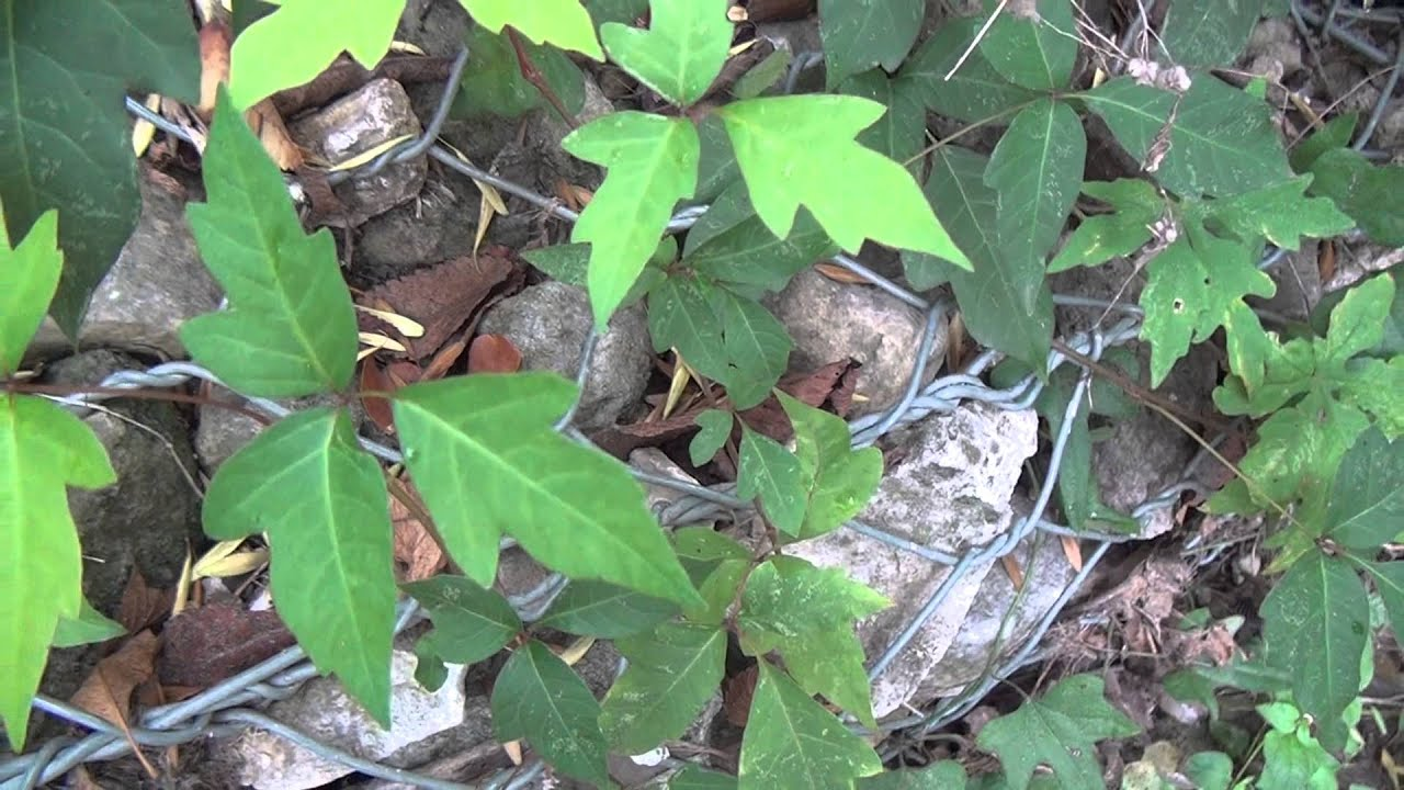 How To Identify Poison Ivy Toxicodendron Radicans Youtube