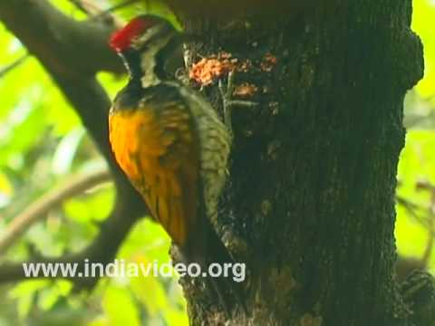 Lesser Goldenbacked Woodpecker or Dinopium benghalense