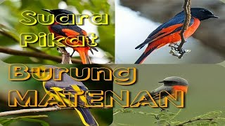 Gambar cover Suara pikat burung Mantenan | Burung Sepah