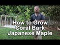How to grow Coral Bark Japanese Maple (Ornamental Tree With Coral Colored Bark)