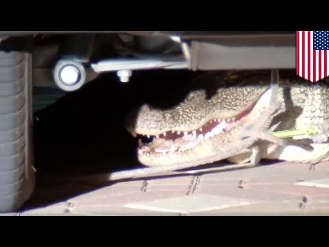 Alligator found under family's SUV was looking for love - TomoNews