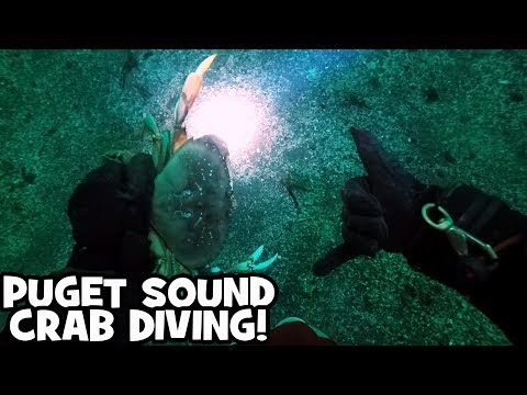 Diving for Dungeness Crab in the Puget Sound - SCUBA Diving in Mukilteo, Washington