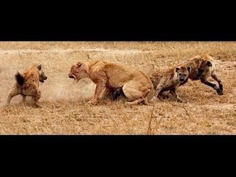 Lions vs Hyenas - Eternal Enemies - Animal Fight [Metamorphosis Documentary]
