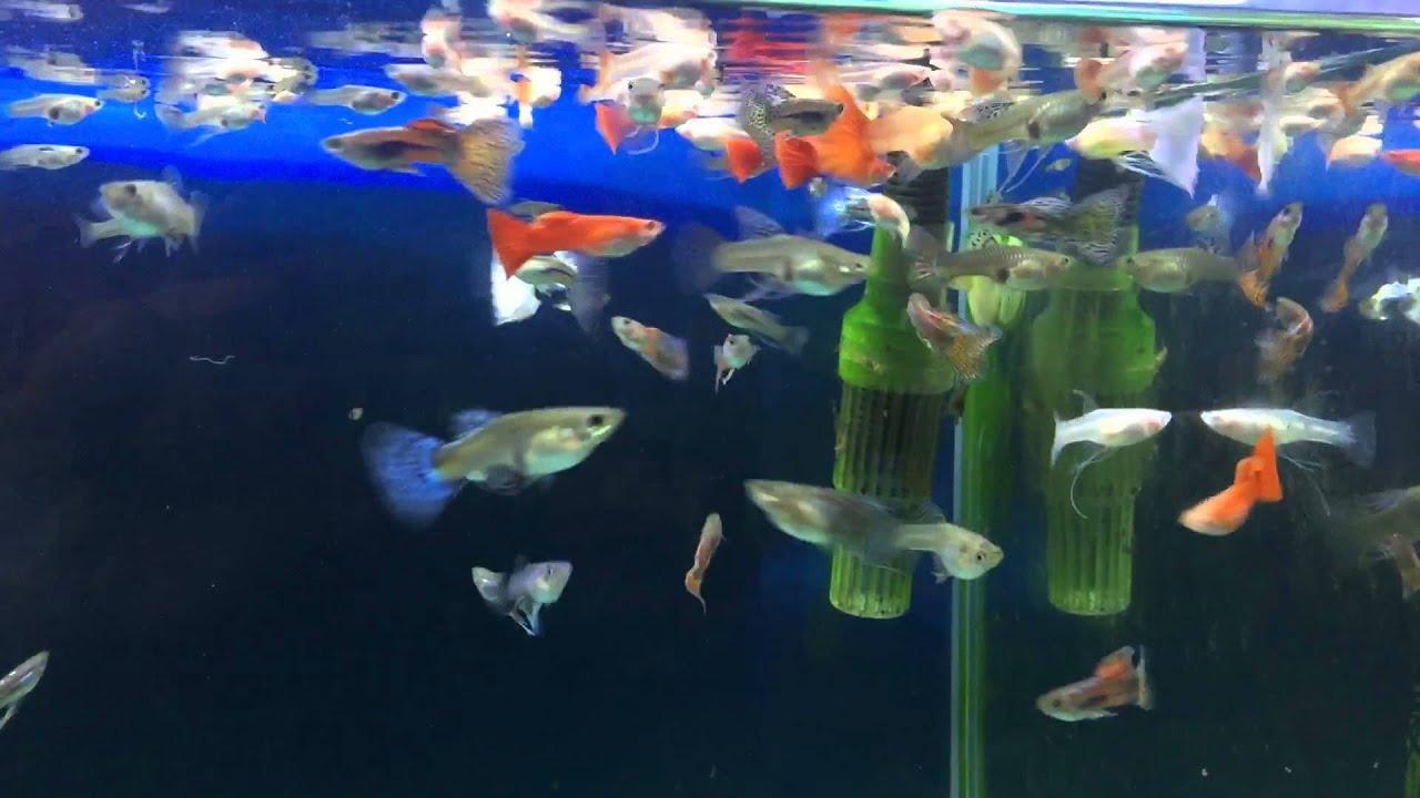 Burying the Guppies – JUST the Unwinding of Thoughts