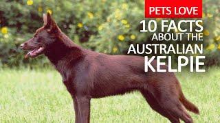 australian kelpie cattle dog