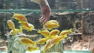 Elimi Yiyecek Bunlar - Tropheus Albino Kipili