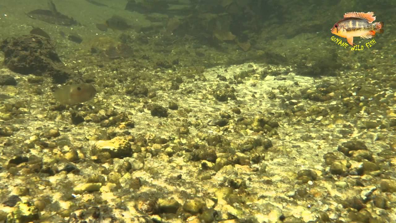 French guiana wild fish in the wild youtube for Fish s wild