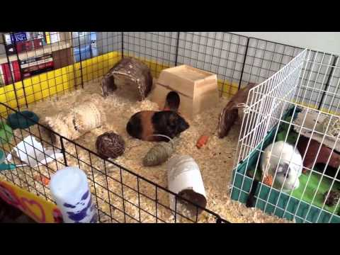 Midwest guinea pig cage unboxing and setup doovi for Buy guinea pig cage