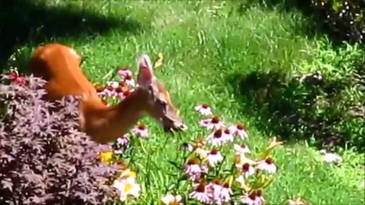 Deer Eating Flowers You