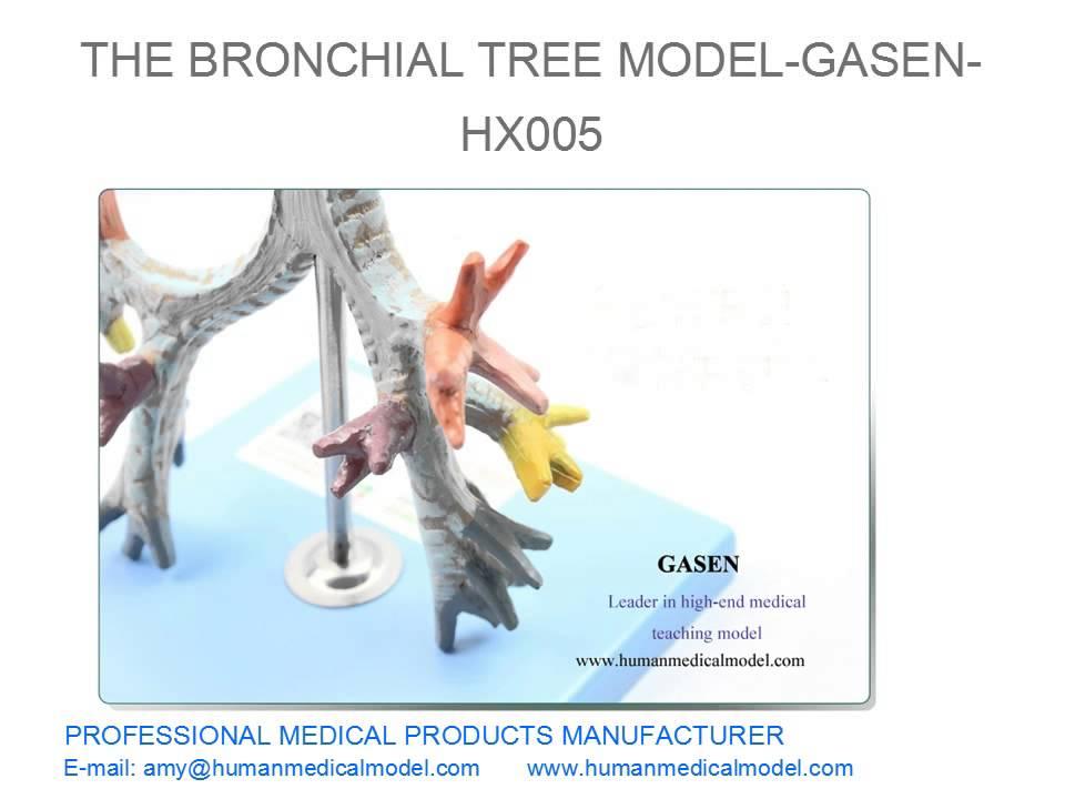 Human Organs Larynx And Trachea Anatomical Model The Bronchial Tree