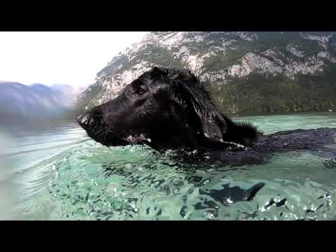 Flatcoated Retriever swimming under water in Bohinj Lake, Slovenia - GoPro Hero Black 7