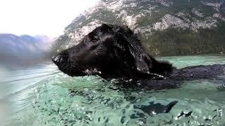 Flatcoated Retriever swimming under water in Bohinj Lake, Slovenia  GoPro Hero Black 7