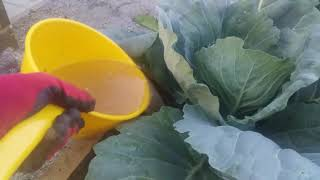 Витаминная БОМБА для капусты в июле!!! КОЧАНЫ ЗАВЯЖУТСЯ В 10 РАЗ БЫСТРЕЕ ОТ ТАКОЙ ПОДКОРМКИ!!!