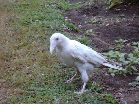 White raven bird