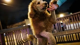 Charles The 'lion' Dog Sparks 911 Call In Norfolk, Va.