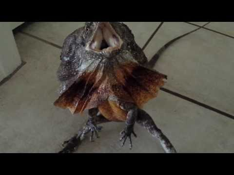 Thumbnail: Australian frilled dragon freak out!