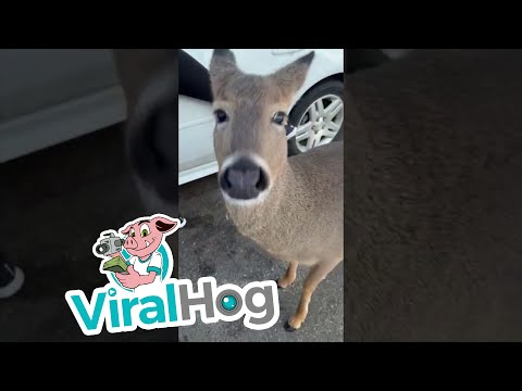 Van and Bonnie in the Morning - Believe it or not, this is a deer just walking thru town!