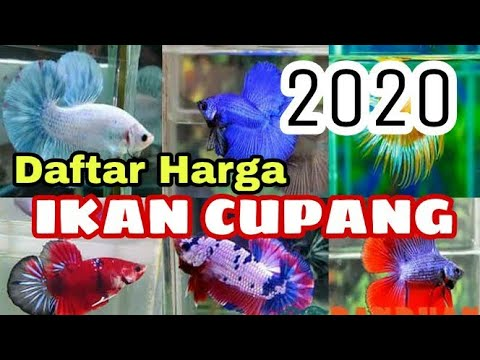 Daftar Harga Ikan Cupang Ditahun 2020 Youtube