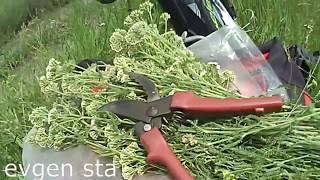 Лекарственные травы. Заготовка и сушка
