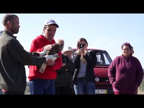 Libertação de águia-d'asa-redonda!!! CERVAS em Bouça Cova!!!