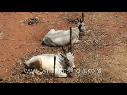 Largest Cattle fair in India : Siddaganga Jathre in Bangalore
