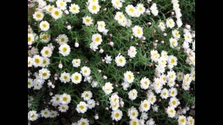 ГЕЛИПТЕРУМ/ACROCLINIUM - HELIPTERUM( растения/plants)( HD slide show)!