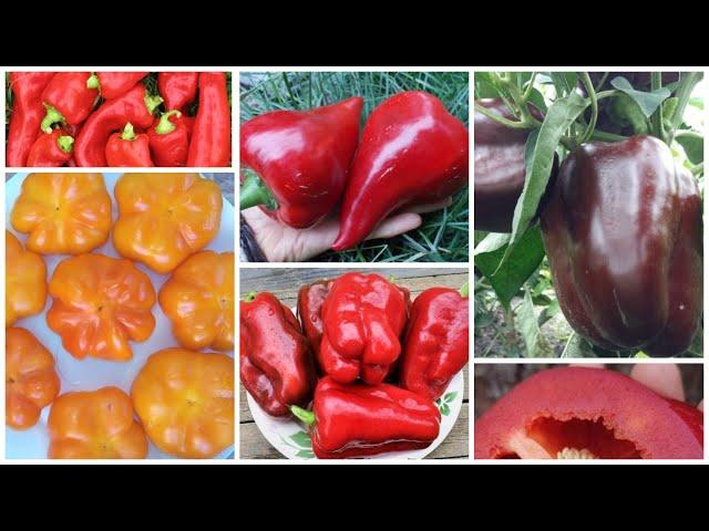 Перцы со всего света! Самые сладкие и урожайные:🌏🌶😋обзор коллекции семян 2020-2021