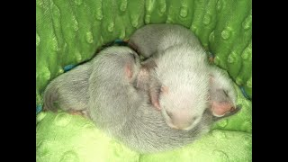 Why I Chose to Get my Ferret from a Breeder