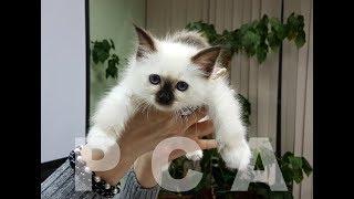 Бирманские котята питомника PCA ВАЙТ ПАВС