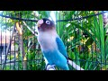 Pancingan Lovebird Ngekek Di Sore Hari Menambah Semangat Lovebird Lain Agar Bunyi  Mp3 - Mp4 Download