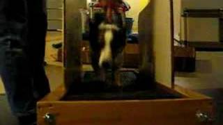 Zoey The Cardigan Welsh Corgi Dog Runs On Her Treadmill