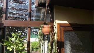 How to re-pot an Epiphytic cactus hanging basket