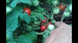 Przerywam liście u pomidorów doniczkowych bajaja. Co zrobić z melonem w szklarni?