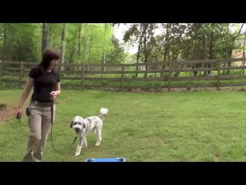 Dog Training, Gus, Aussie Doodle, Day 1: Recall, Loose-Leash, Place, Free