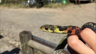 【毒蛇】捕まえたヤマカガシが逃げるまで|生物モラトリアム