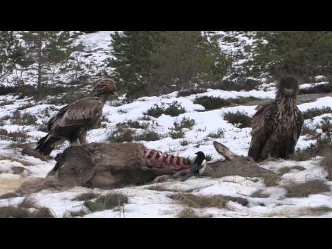 White-tailed Eagle and Golden Eagle