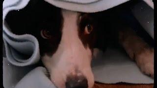 Пес-актер / Удивительные трюки собаки Пирата для комедии «Ёлки лохматые»